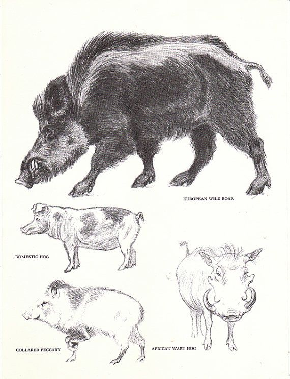 Vintage Wild Boar Hog Pecary Book Page from the 1940s | Pinterest ...