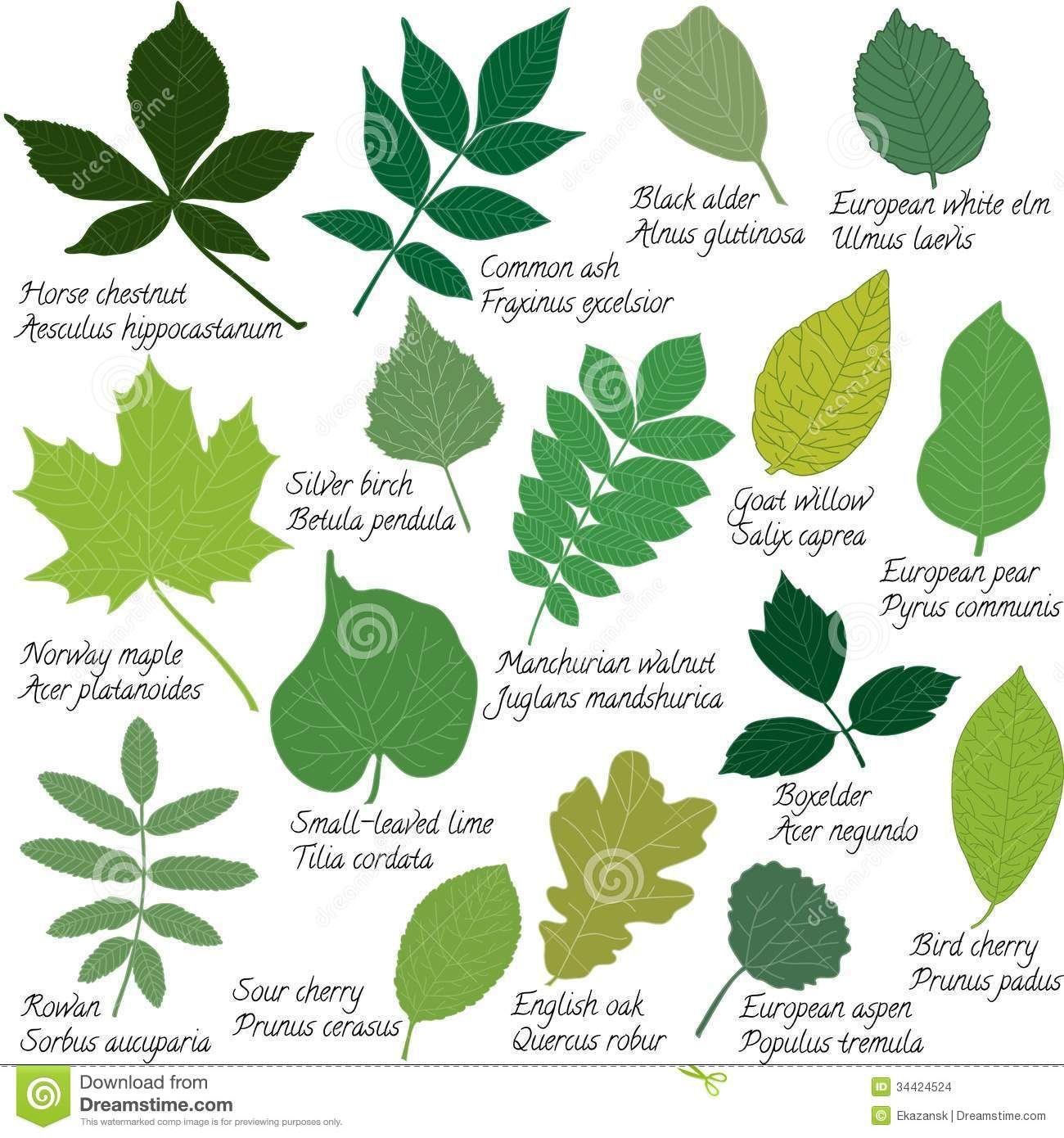 Pin By Sally Reynolds On Picture Of Tree Leaf Tree Leaf Identification Tree Identification Leaf Identification