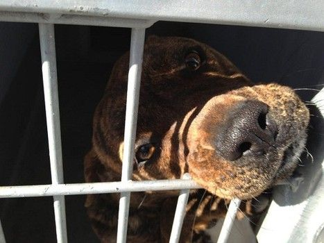 Please Repin Brittney Http Www Examiner Com Article Gentle Puppy Begging For Release From Animal Control Animals Dog Adoption Animal Control