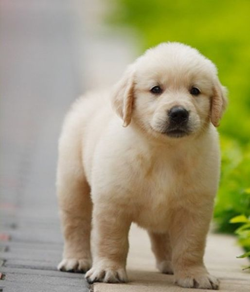 Simple Golden Retriever Chubby Adorable Dog - ffe0e1f2ebb9174f7efeed1d940a1c69  Pic_683118  .jpg