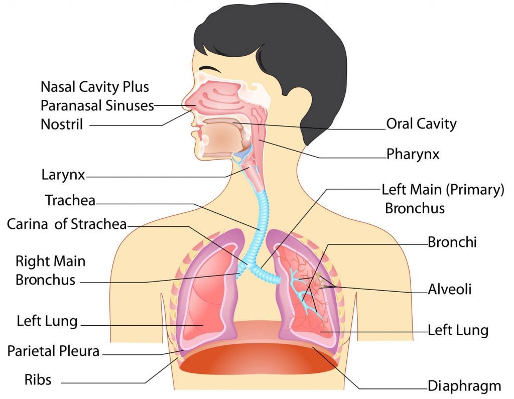 Human Respiratory System Hd Images Anatomy Of Respiratory System