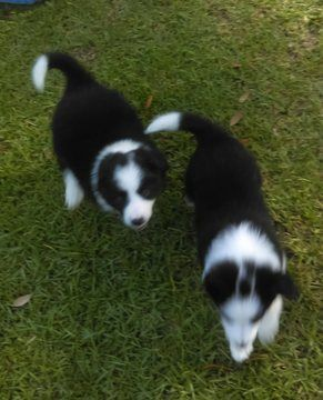 Litter of 5 Border Collie puppies for sale in MOBILE, AL