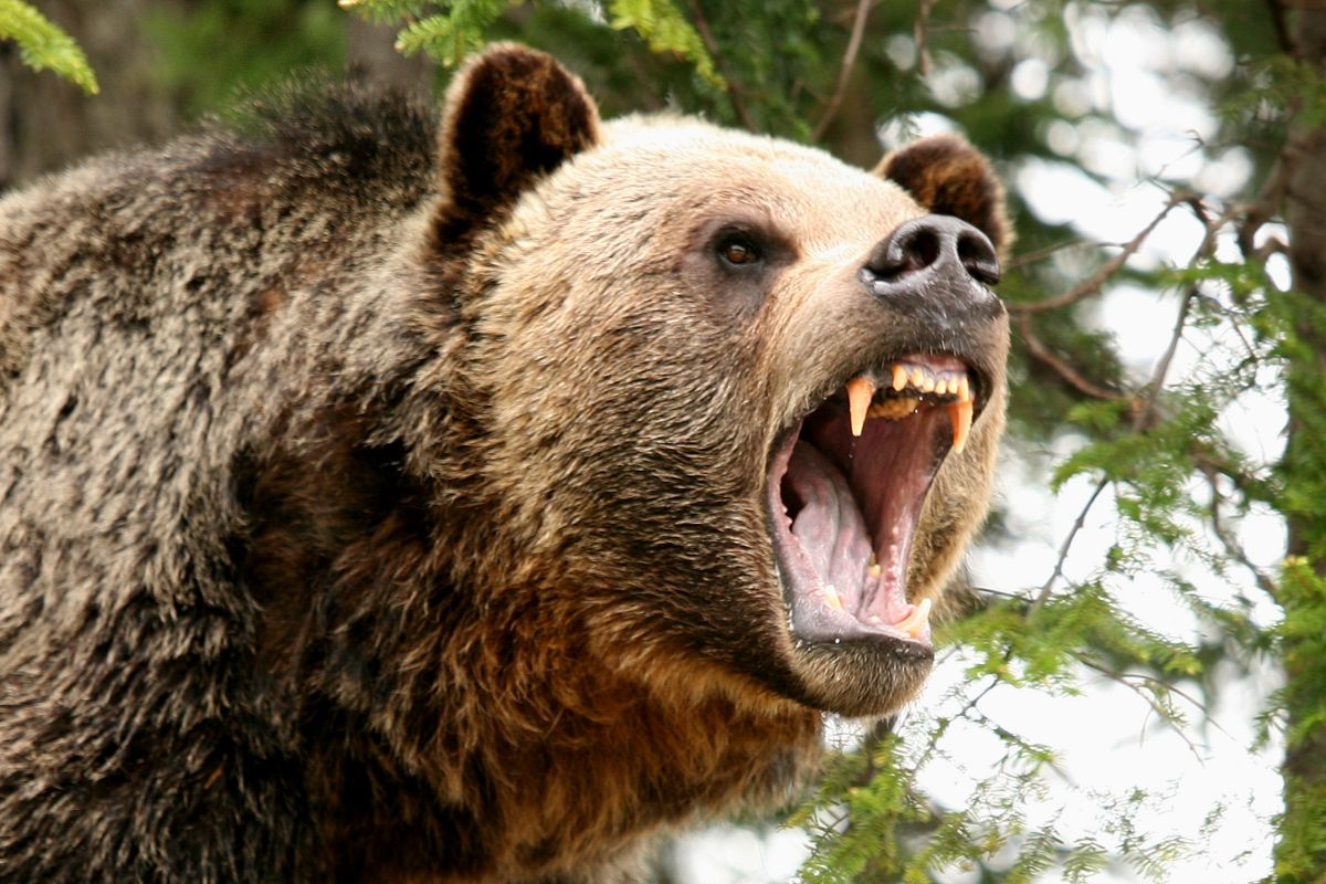 Image result for grizzly bear roar