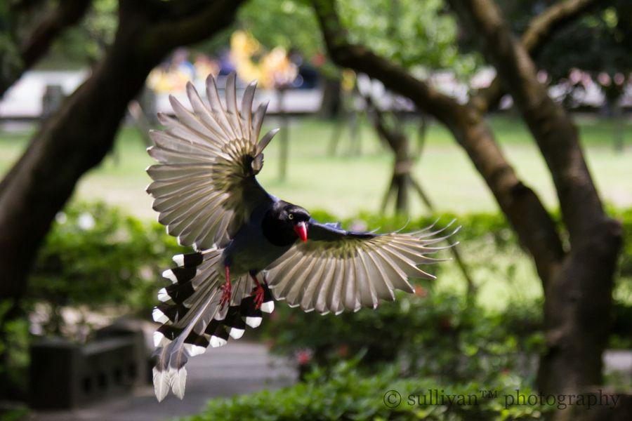 Taiwan Blue Magpie, Yangmingshan National Park, Taipei City, Taiwan
