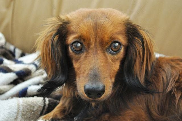 Long Hair Best Small Dogs Best Small Dog Breeds Dachshund