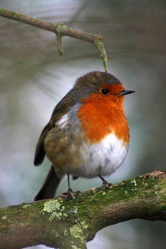 Robin I 2020 Smukke Fugle Billeder Fugle