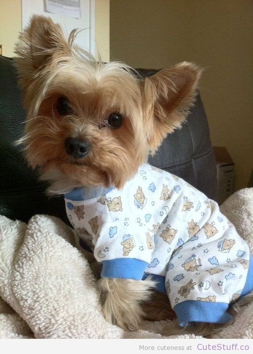 Yorkie In Pajamas Dogs Pinterest Puppies Yorkie And Cute Puppies