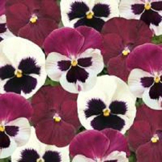 Details About 50 Pansy Seeds Matrix Raspberry Sundae Mix Seeds Flower Seeds Pansies Pansies Flowers