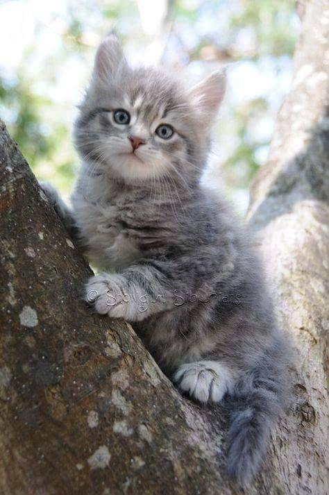 Super Cute Grey Kitty Kittens Cutest Siberian Kittens Cats