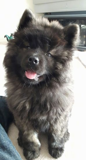 Akita Chow Dog Breed Information And Pictures Hayvanlar