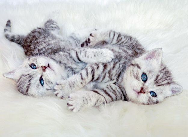 Meet Socks And Gizmo Who Are Basically The Textbook Definition Of Cuddly Kittens 11 Adorable Cat Fr Cute Baby Cats Cute Cats British Shorthair Silver Tabby