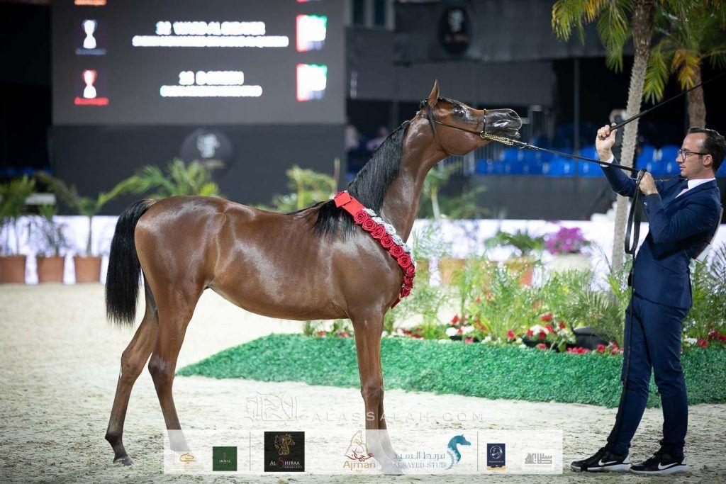 خيول البداير تتحلى بفضة وبرونز دولية الشراع 2020 Horses Arabian Horse Arabians