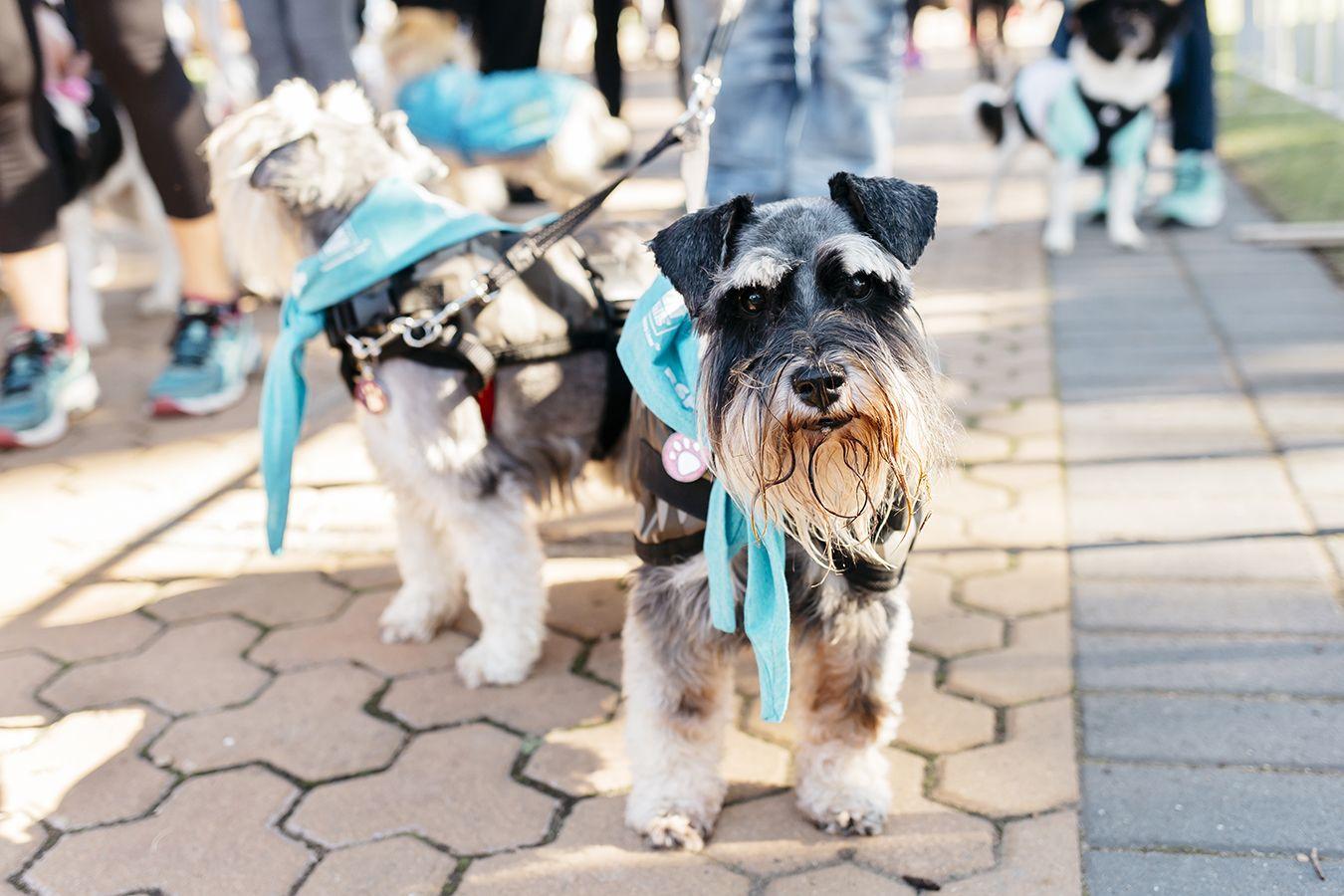 RSPCA Million Paws Walk 2019 May 19 Australian Dog