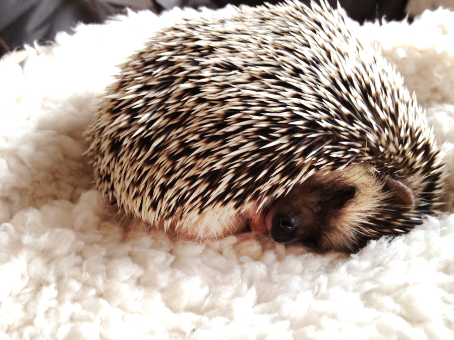 Coconut the hedgehog is just about the cutest pet I've ever seen! His loving owner happens to deviantART's wonderful and talented =Trinity-In-Rainbows. <3
