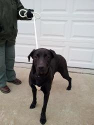 Adopt Eli On Petfinder Labrador Retriever Dog Pounds Labrador Retriever Dog