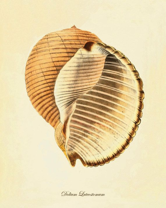 Sea shell art Vintage prints old prints Ocean Decor ocean life ...