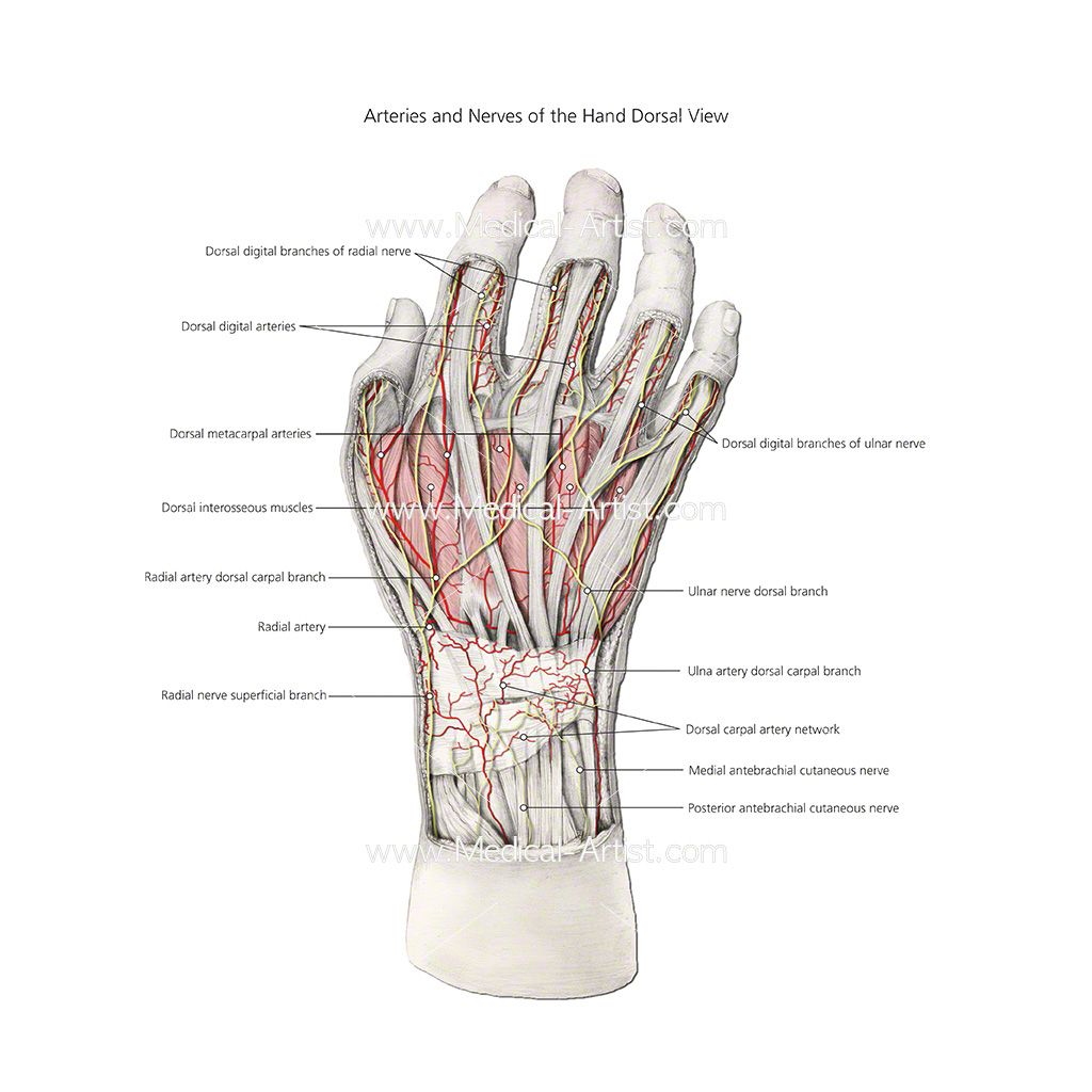 Image result for anatomy of the nerves in the hand | FEATURES ...