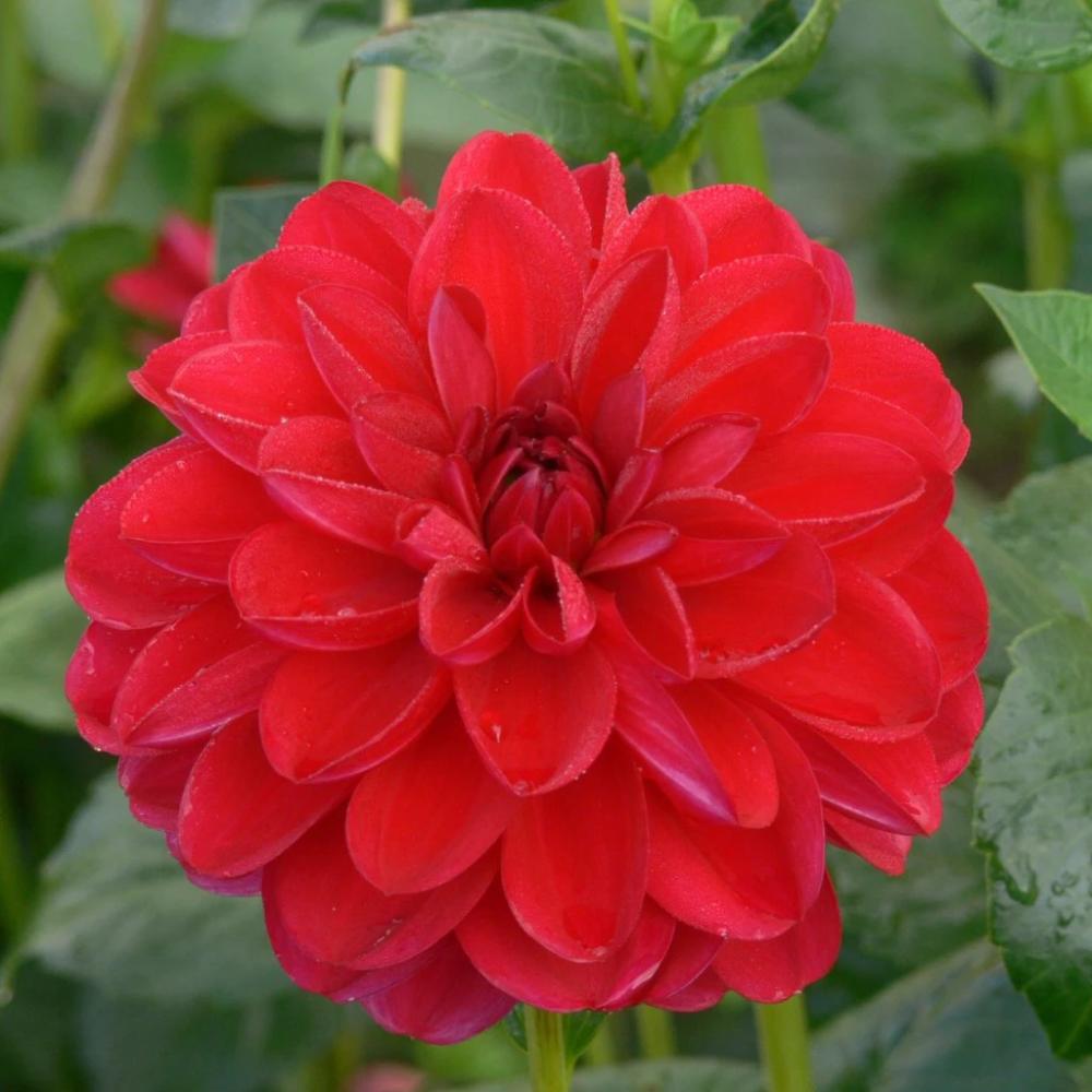 Javier G Dahlia Gorgeous Gardens Flowers