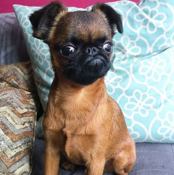 16 Things You Didn T Know About Brussels Griffons Griffon Dog Griffin Dog Cute Dogs