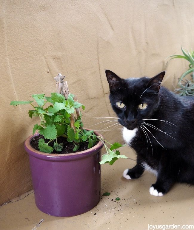 How To Grow Catnip Your Cat Will Love You! Growing