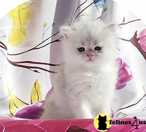 Johnnyhoo11 Picture 1 Persian Kittens Persian Kittens For Sale Kitten For Sale