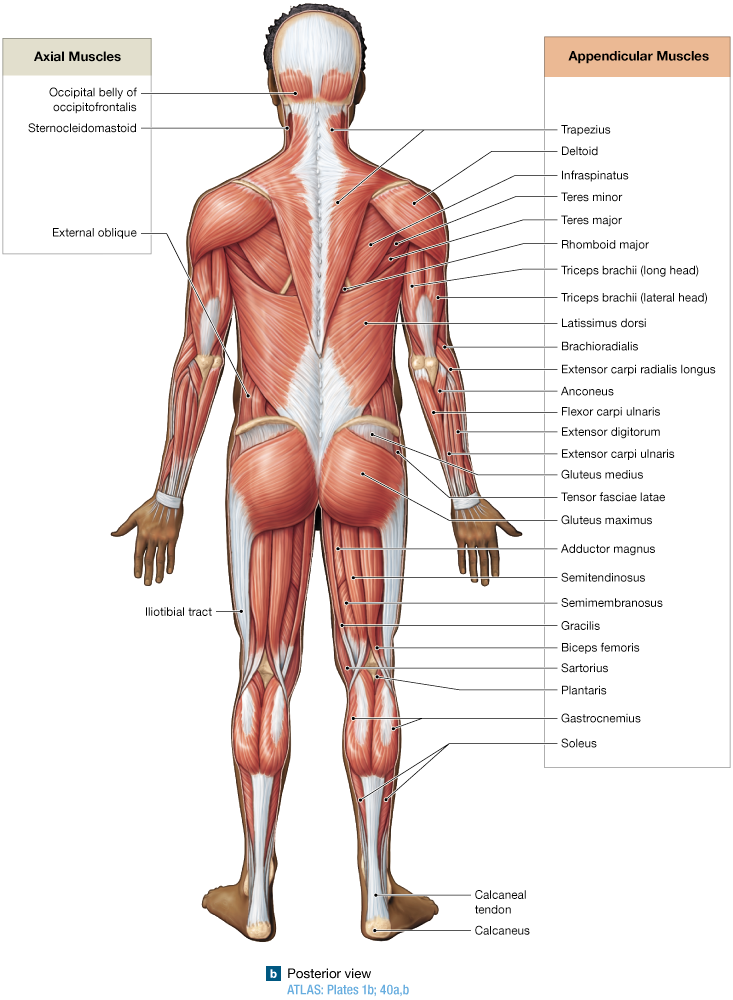 114 Descriptive Terms Are Used To Name Skeletal Muscles Ap