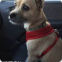 Border Terrier Chihuahua Mix Dog For Adoption In Cranford New