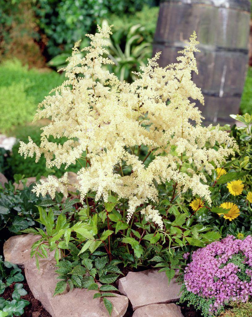False Spirea Brautschleier Hybrid Astilbe Brautschleier Astilbe Perennials Plants