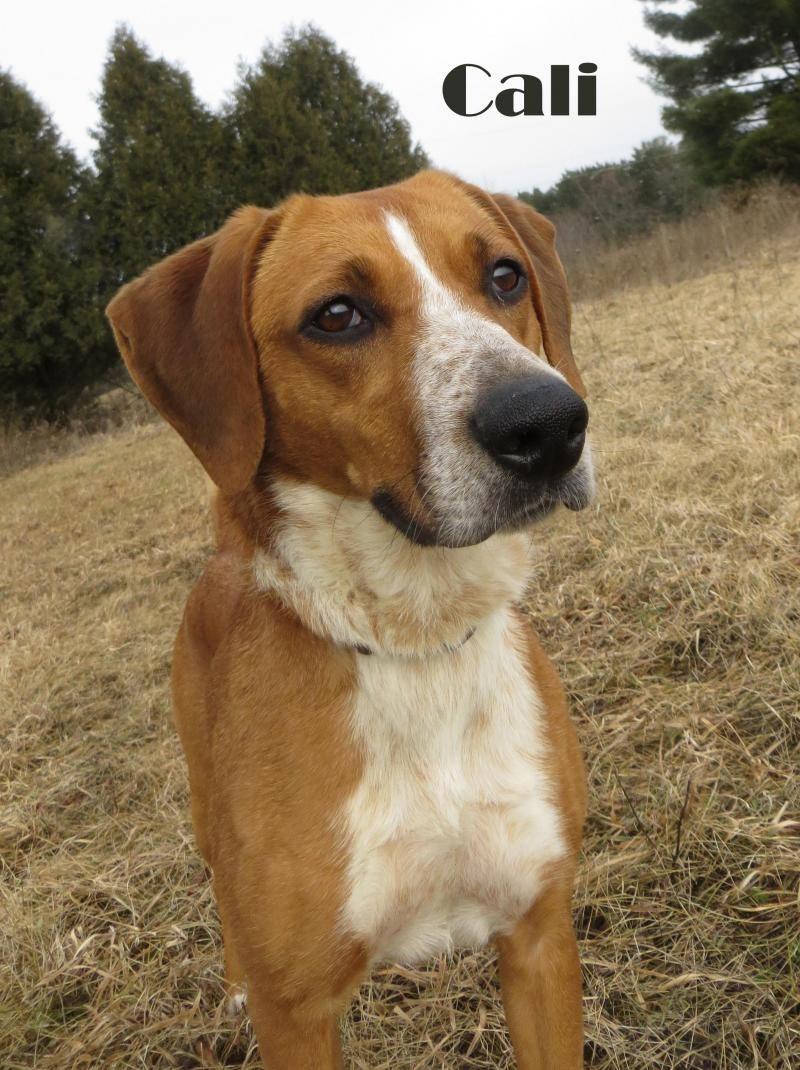 Adopt cali on labrador retriever pets dogs
