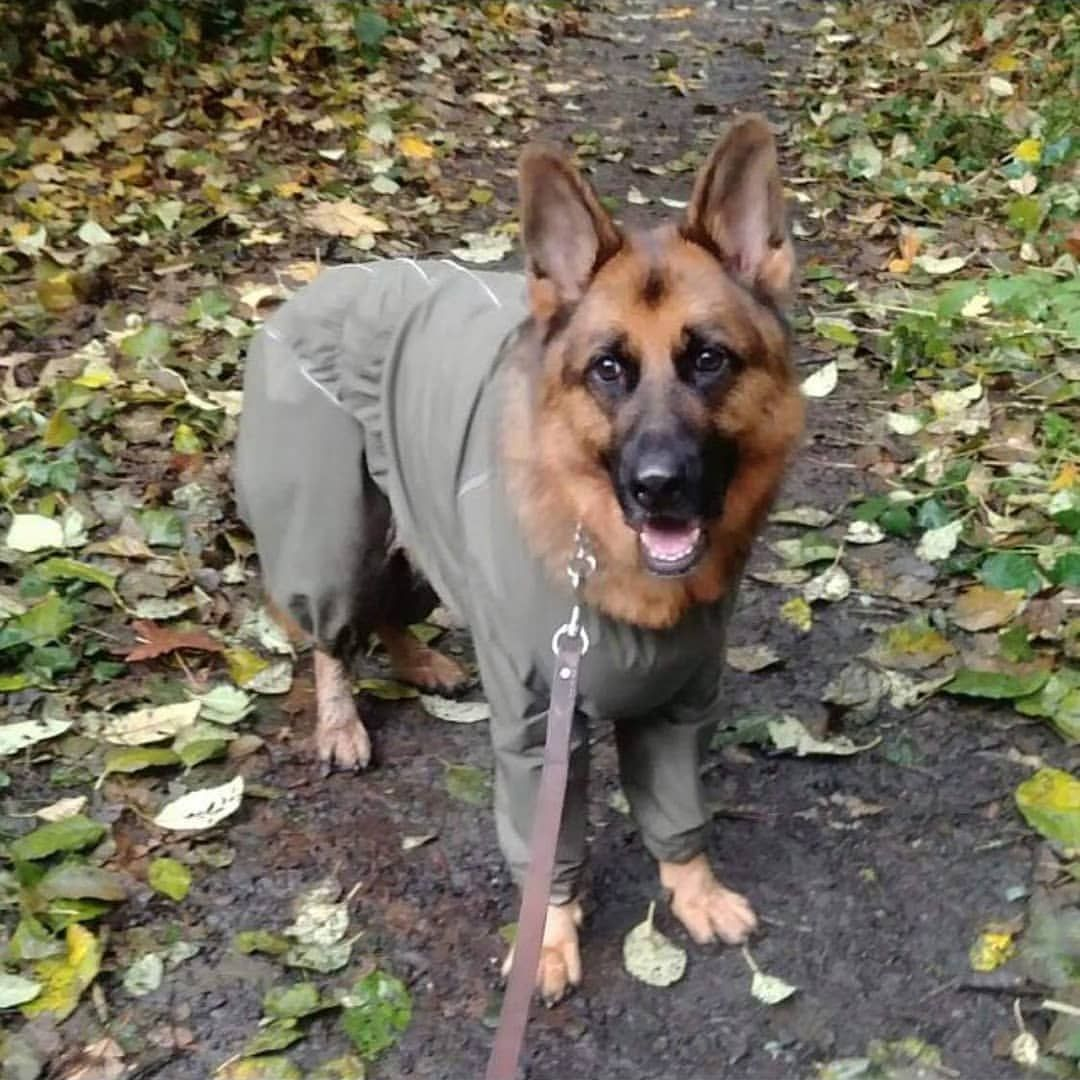 Are You Surprised To See German Shepherd In Raincoat Perfect