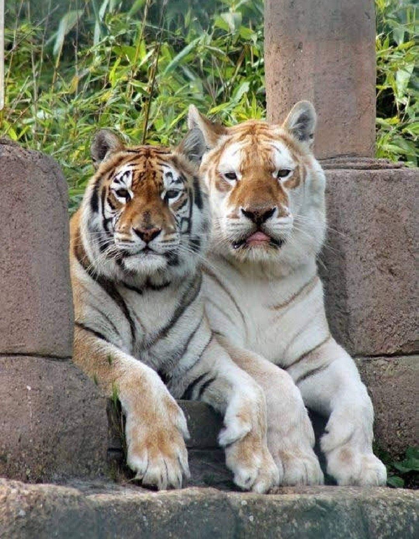 прозванный колыбелью тигр и кот фото статуса