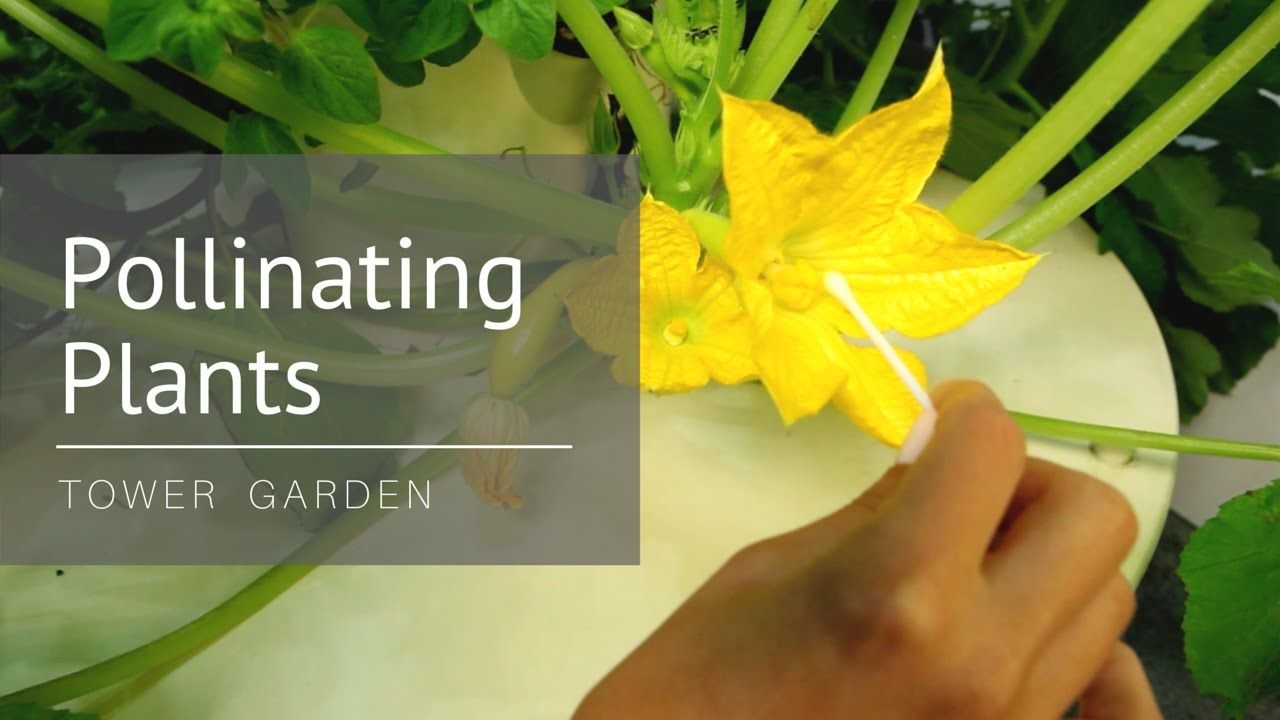 How To Hand Pollinate Plants Like Tomatoes Zucchini More Tower Garden Pollination Plant Tower