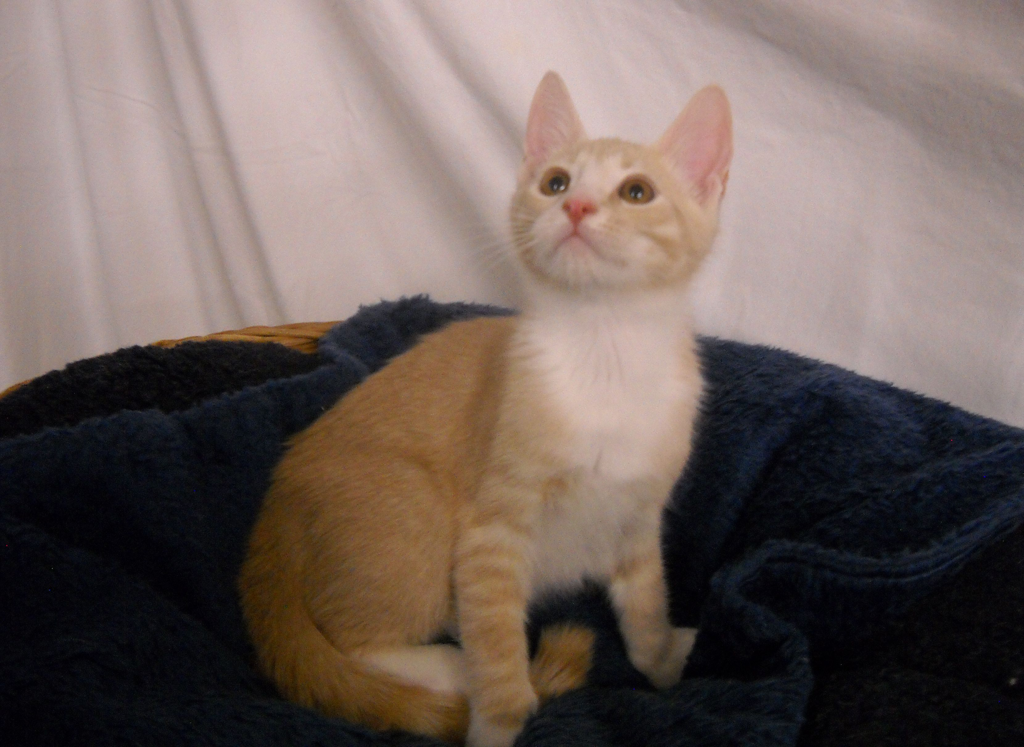 Guacamole is a dilute orange domestic shorthaired kitten