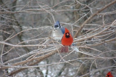 Cardinal And Bluejay Together Things I Love Blue Jay