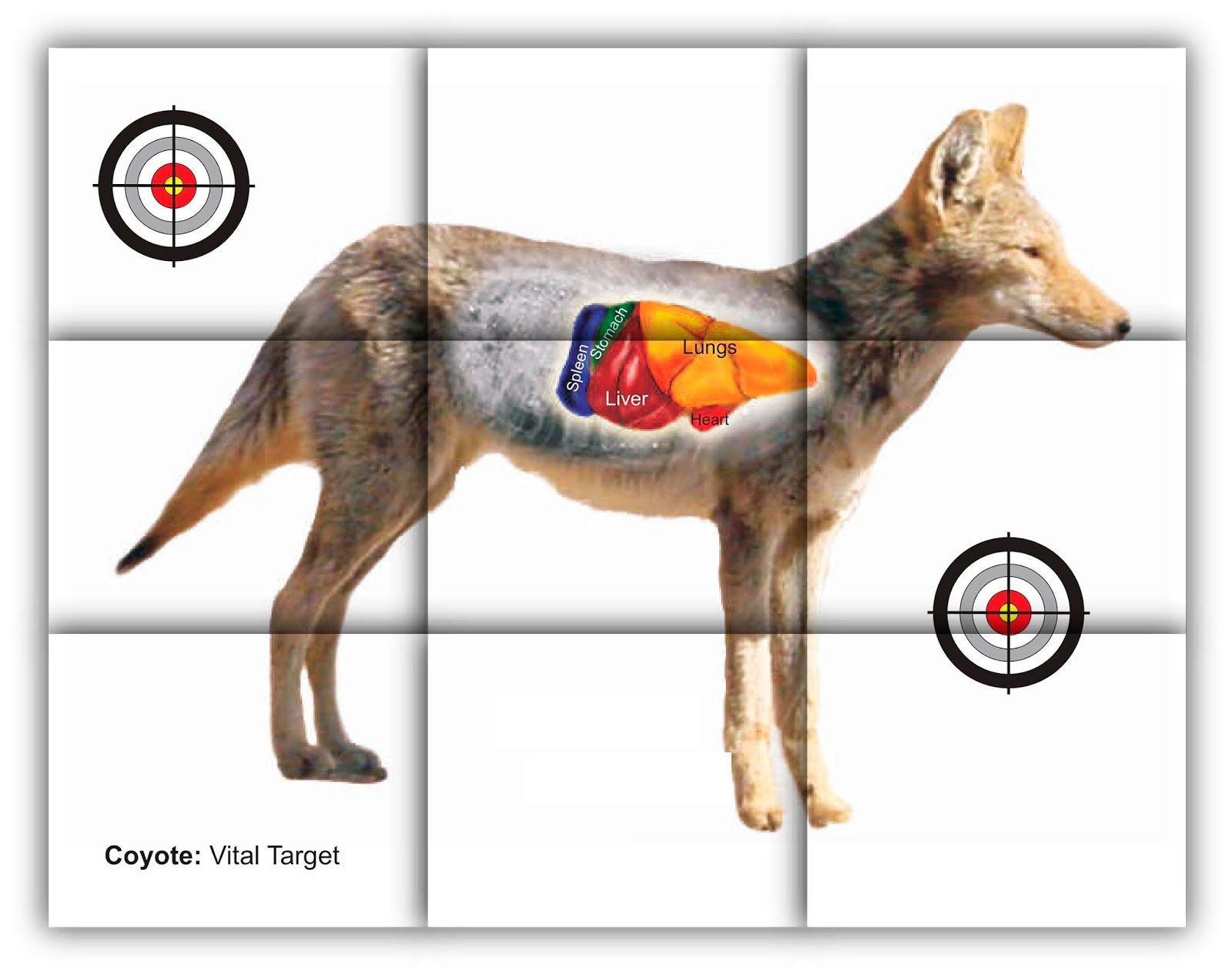 Whitetail Deer Shot Placement Diagram Black White And Animal Cell No Labels Coyote Vitals Target Free Printable Shooting Targets