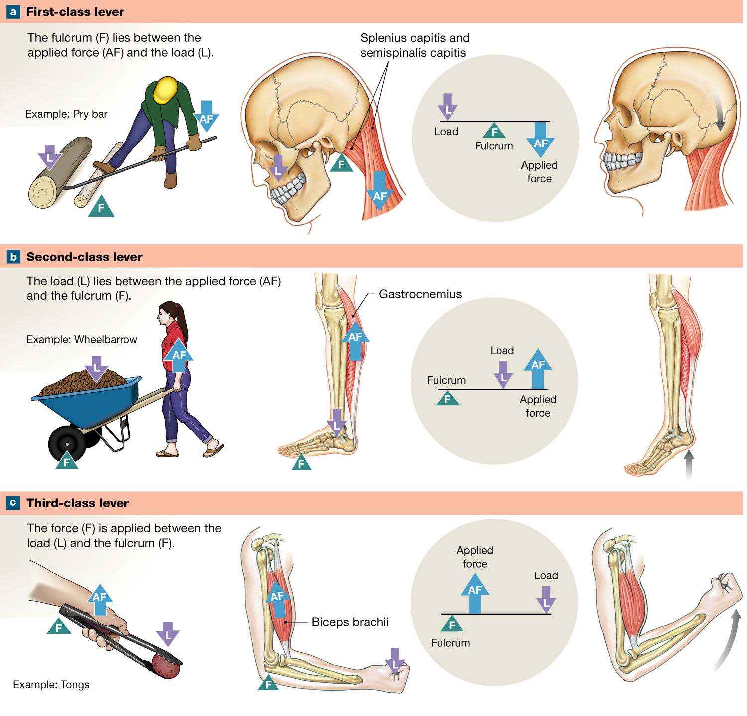 11 2 The Use Of Bones As Levers Increases Muscle Efficiency