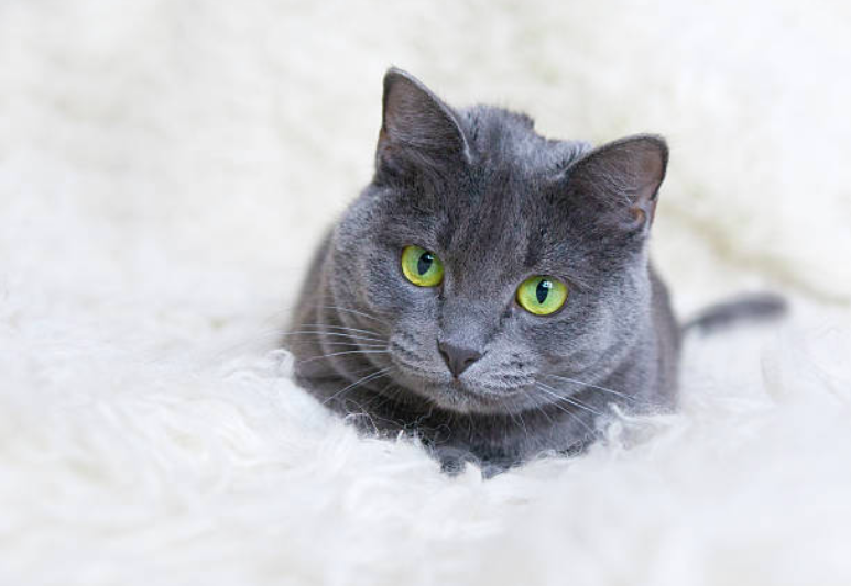 The Best Hypoallergenic Cat Breeds for those who sneeze