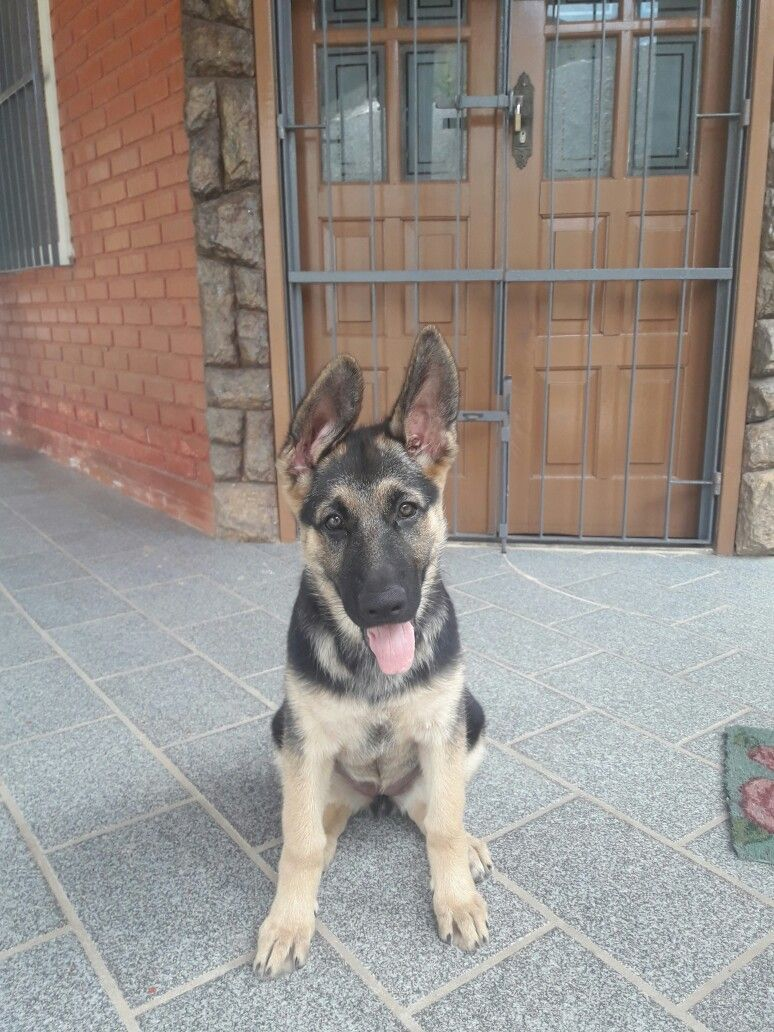 90days Kyra German Puppy With Images Cute Dogs And Puppies