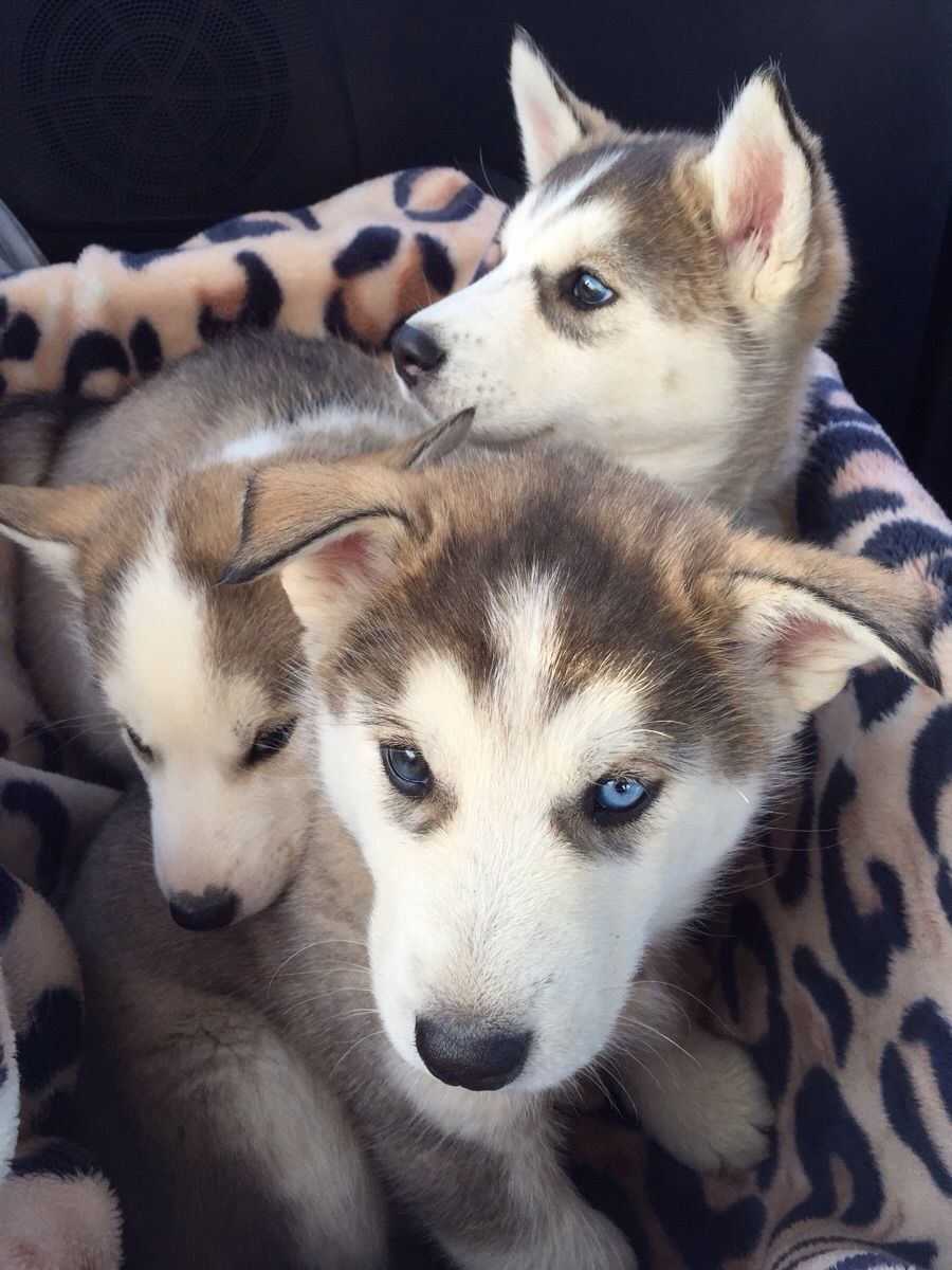 Cute Overload : Siberian Husky puppies!!! Drove from Cloverdale BC all the way to Mackenzie. Welcome to the family. :)