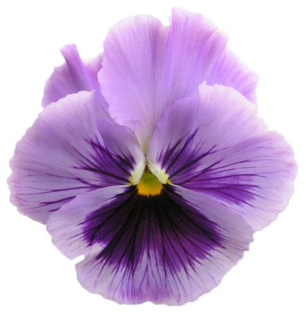 Pin By Arief Hendrawan On B L O O M Edible Flower Garden Pansies Edible Flowers
