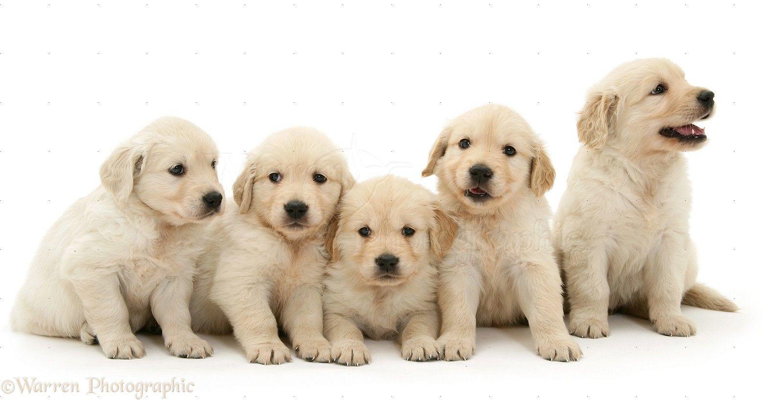 how to walk a golden retriever puppy