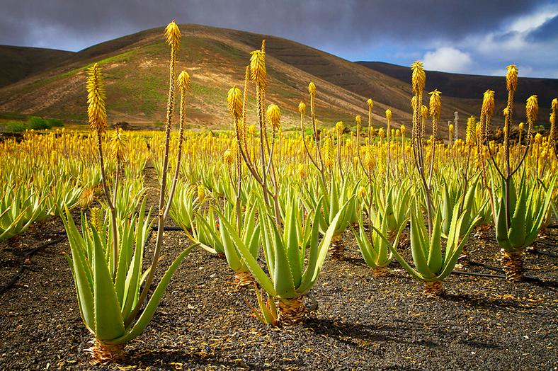 Imagen de Jackie Bale en el norte de Lanzarote. Plantación de aloe canario.