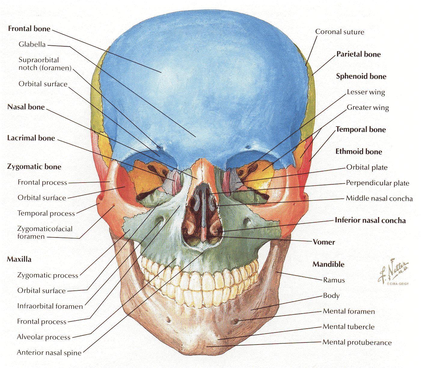 Netter cranium frontal view. | Hmn Antmy | Pinterest