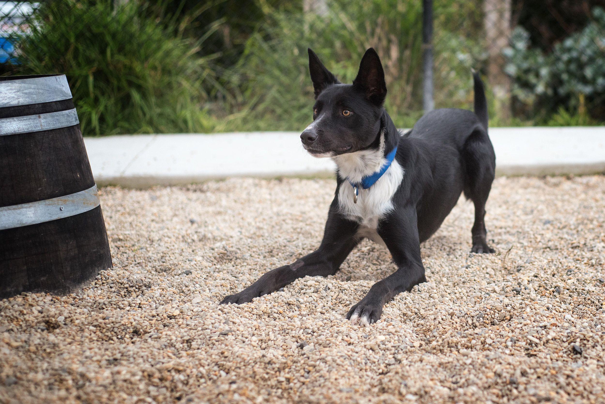 Kelpie X Yarra Valley Puppy Photographer Melbourne