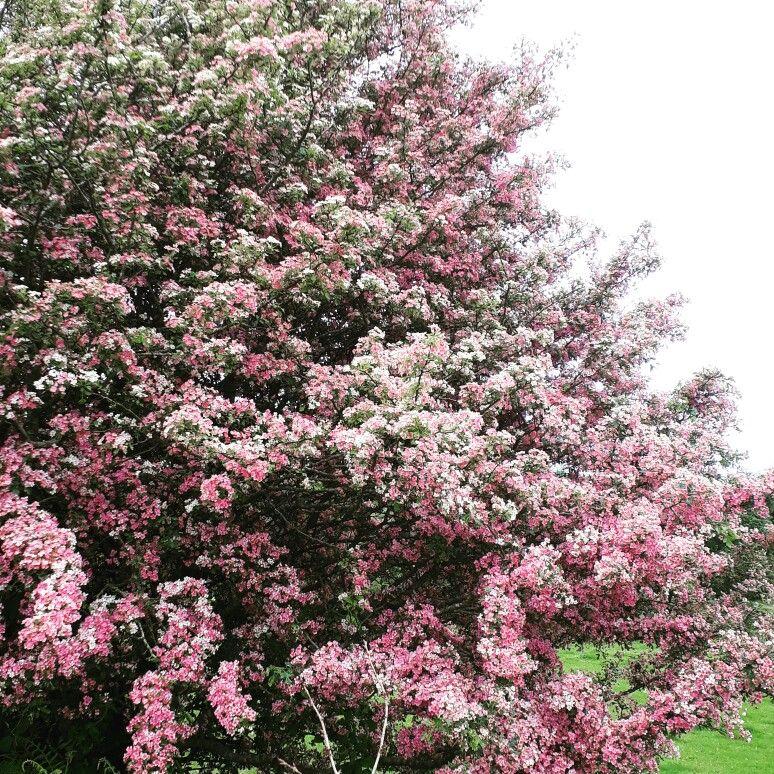 White Hawthorn Tree Turning Pink Mayo Ireland Hawthorn Tree Flowering Trees Tree