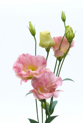 Lisianthus Love These Little Flowers They Look Like Roses Only A