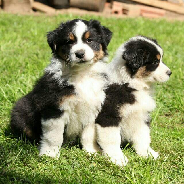Pin von Stefanie Steffi auf Hunde Welpen Australian