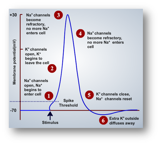 membrane potential as time passes in an action potential | Anatomy ...