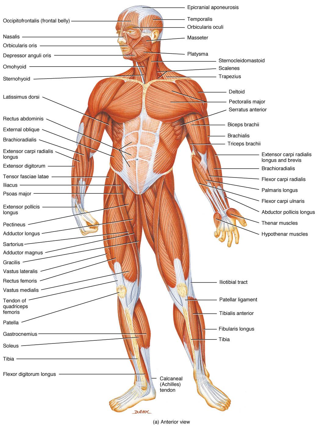 diagram of rib cage and muscles 2003 ford f150 stereo wiring muscle free for you anatomy human body rh pinterest com
