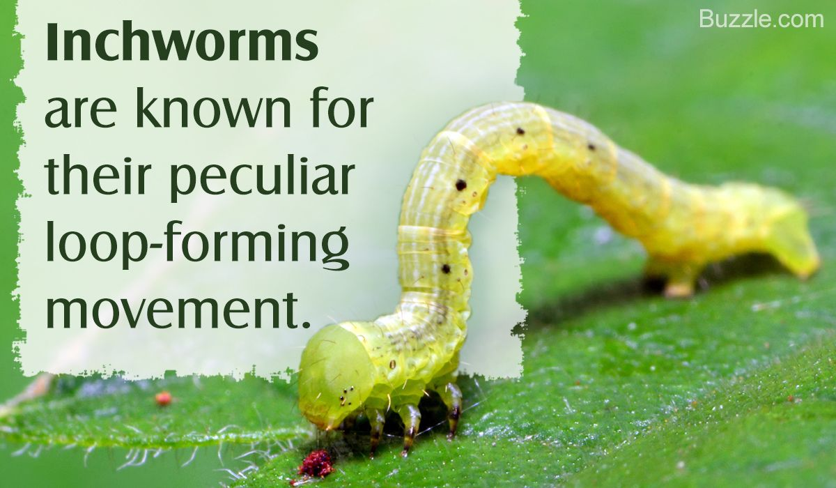 Facts About Inchworms You Probably Didn T Know Facts Fun Facts Types Of Moths